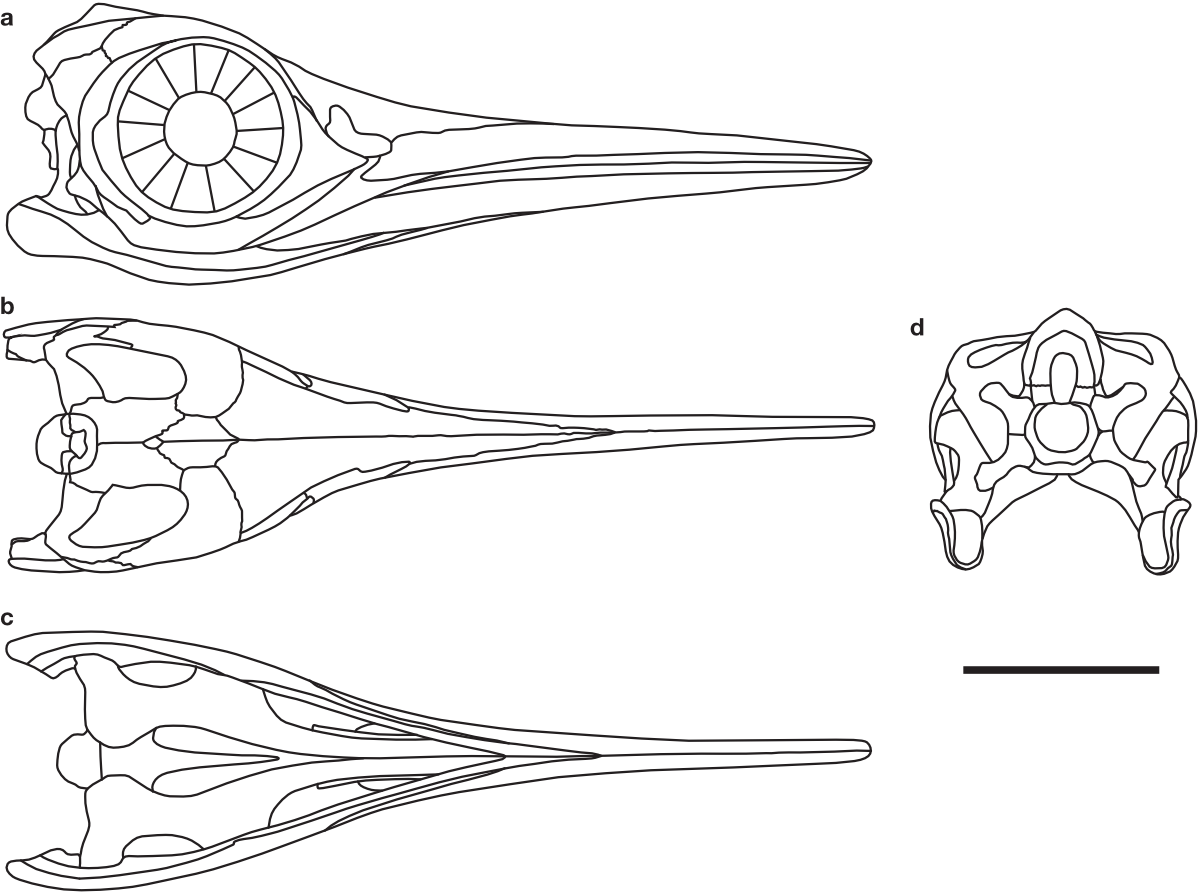Outlines of the skull of Baptanodon/Ophthalmosaurus