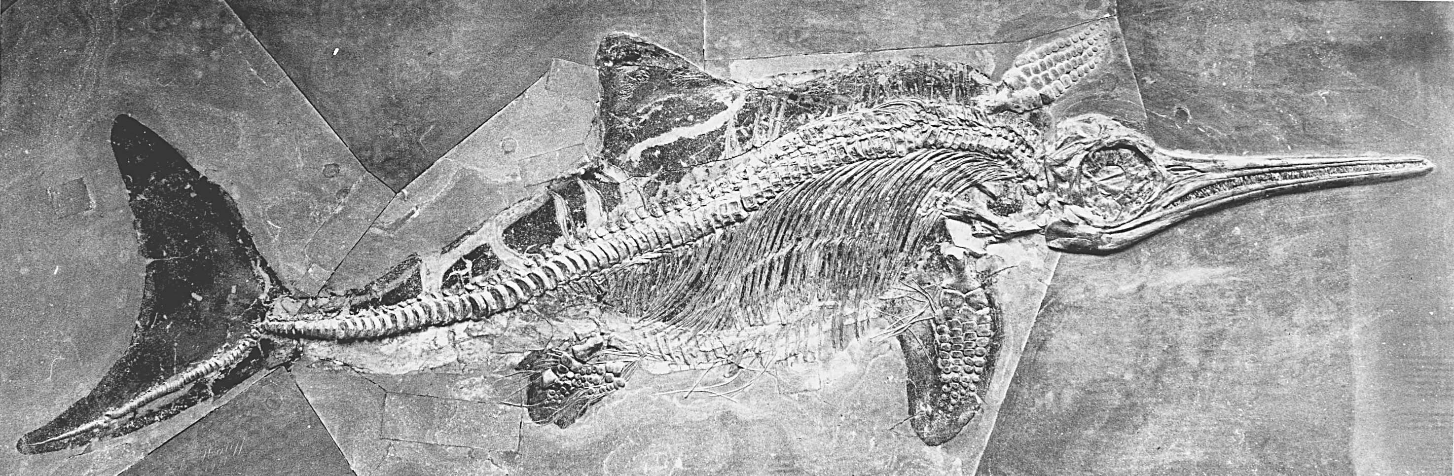 An ichthyosaur with soft tissue preservation