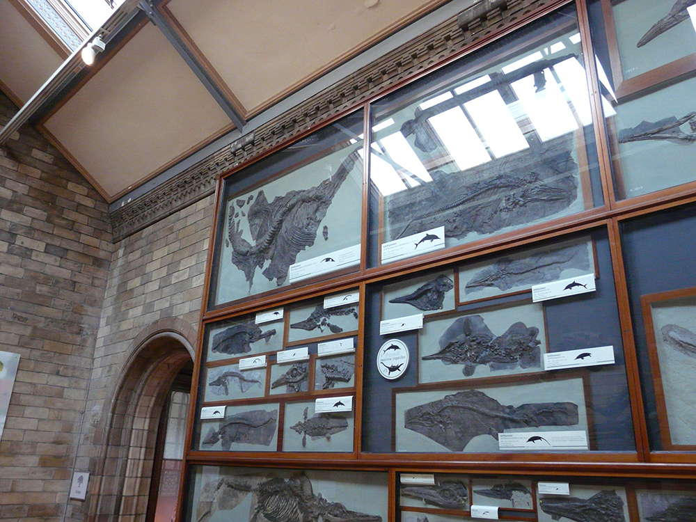 Nannopterygius in the Natural History Museum