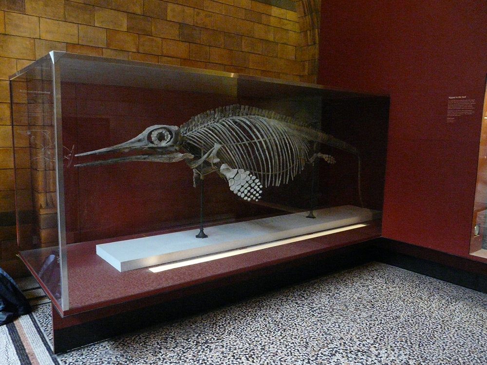 Ophthalmosaurus in the Natural History Museum